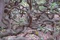 Grootste Cashewboom