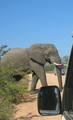 Savanneolifanten in het Krugerpark
