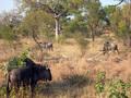 Wildebeesten in  het Krugerpark