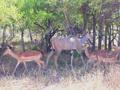 Impala's  in  het Krugerpark