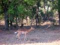 Impala in  het Krugerpark