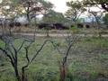 Buffels  in  het Krugerpark