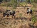 Gnoes in  het Krugerpark