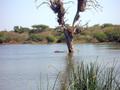 Nijlpaard in  het Krugerpark