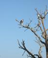 Een  maraboe in  het Krugerpark