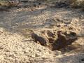 Een  knobbelzwijn in  het Krugerpark