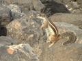 Soort eekhoorn langs de kust