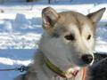 Husky hond in Rovaniemi