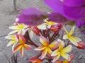 Lotus en bouilangeville