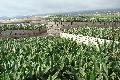 Bananenplantages